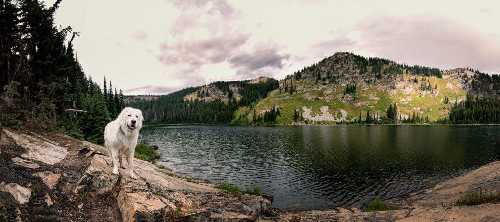 Panorama of dog at Lower Blossom Lake in North Idaho