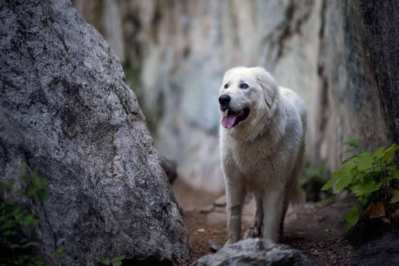 Maremma sheepdog hiking in North Idaho