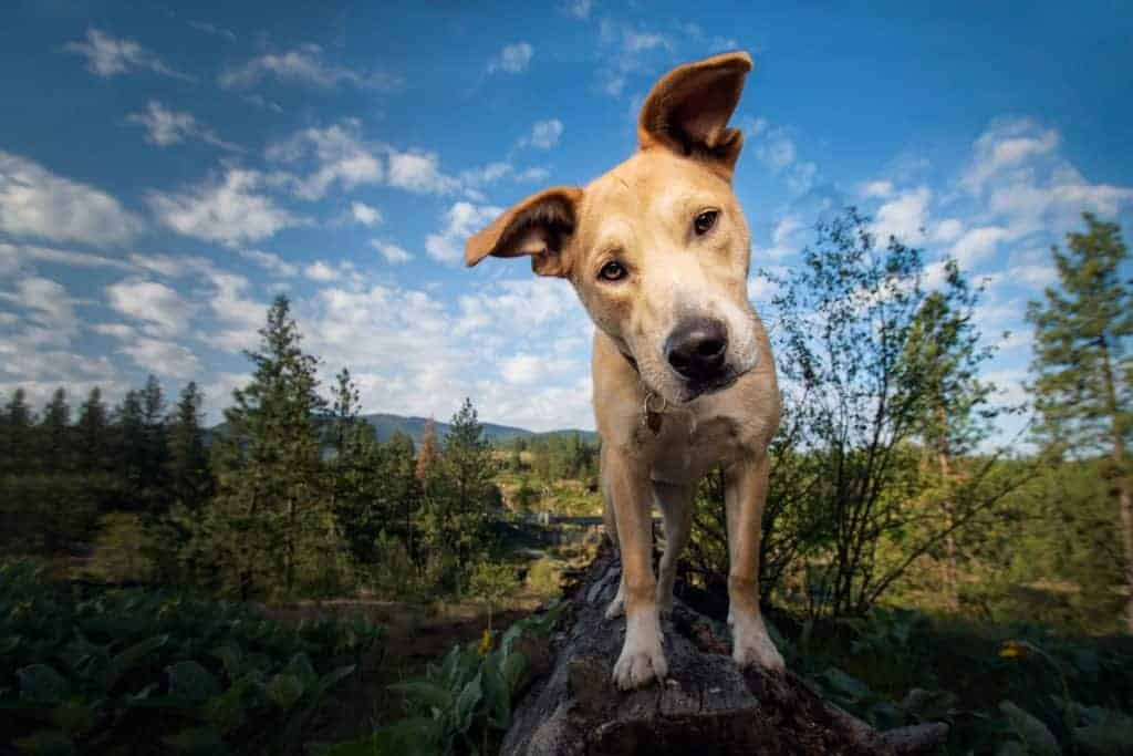 Staffordshire terrier mix at Post Falls
