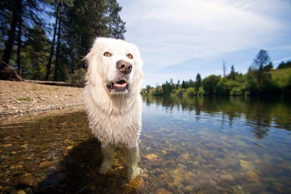 wide angle of a Maremma sheepdog in Spokane River