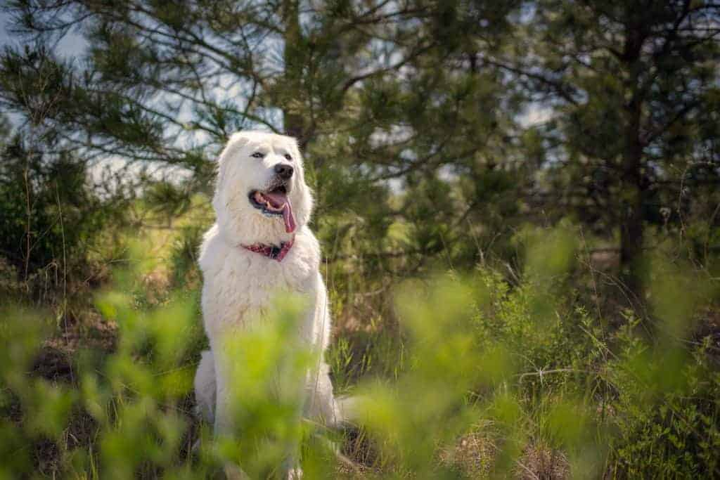 Maremma sheepdog in a forest setting for a dog portrait session in Spokane Valley