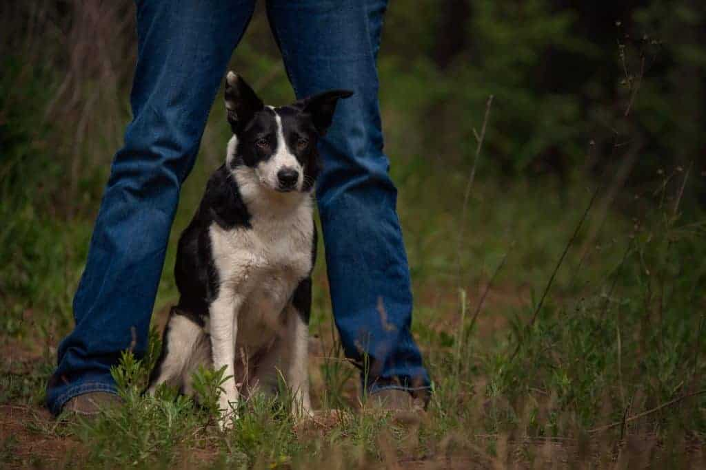 border collie poses for a dog portrait session in Post Falls, Idaho