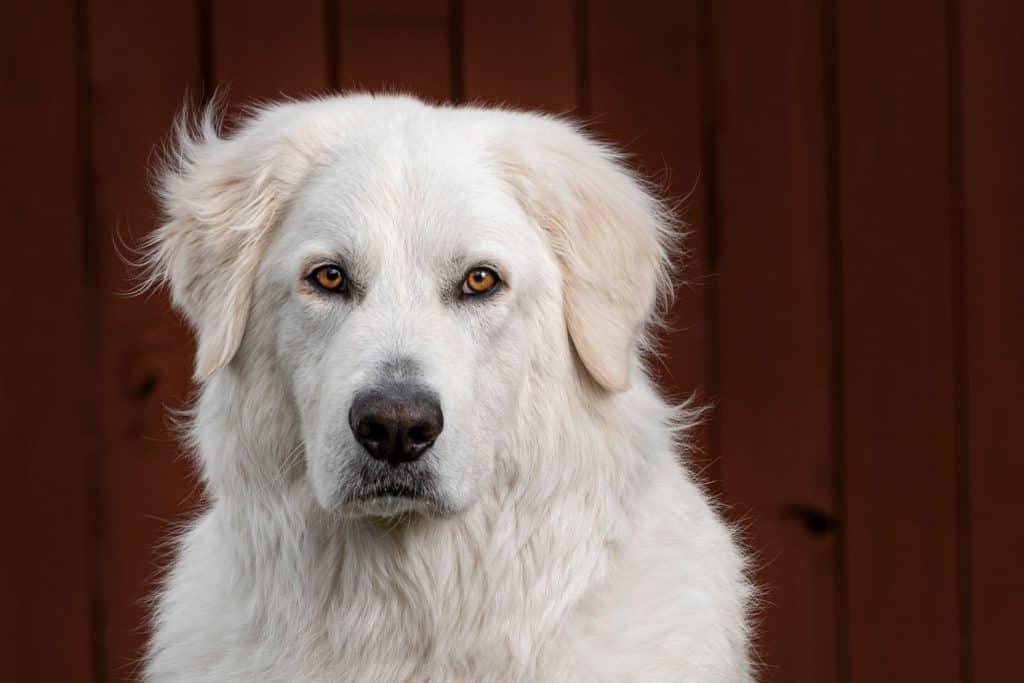 Headshot of a Maremma sheepdog
