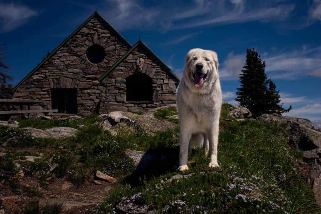 big white dog hiking to Vista House at Mt. Spokane State Park