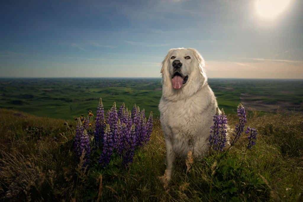 Maremma sheepdog sits with lupins at Steptoe Butte in Eastern Washington