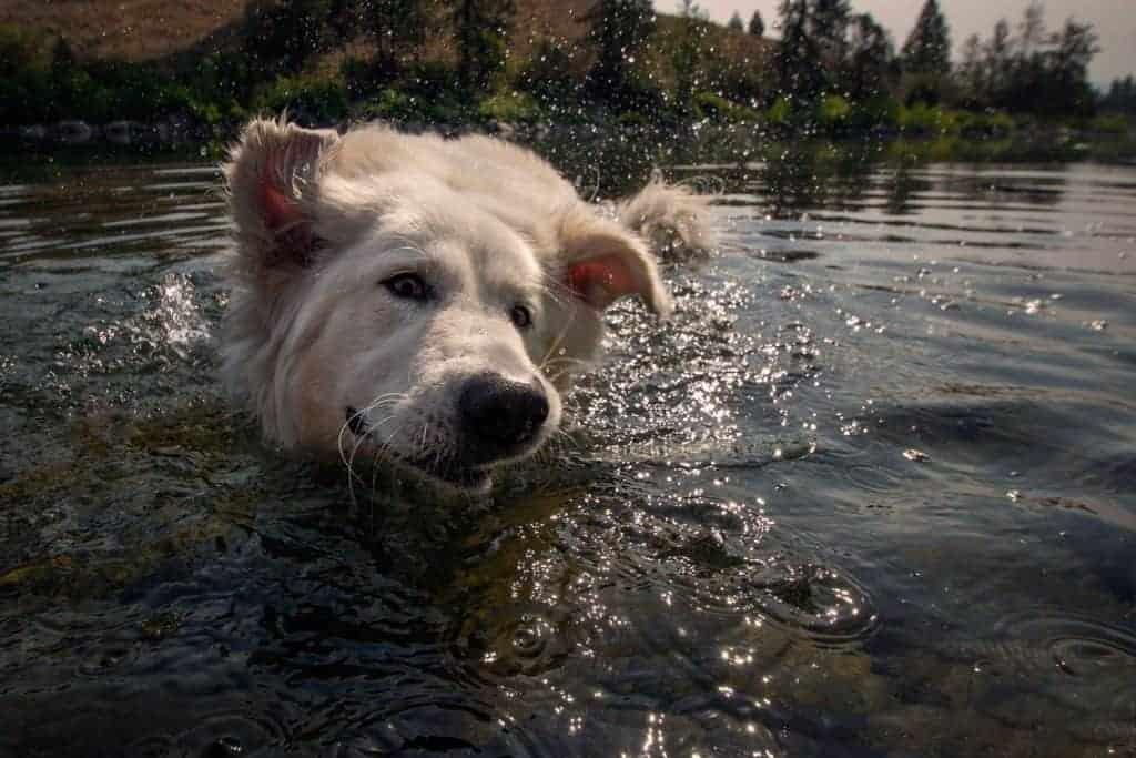 dog having fun in Spokane River