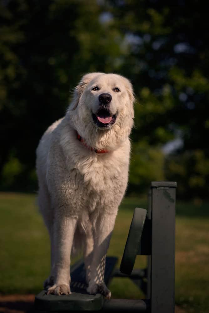 big white dog posing on a park bench