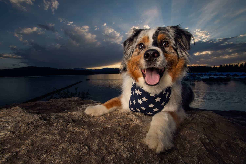 beautiful Australian shepherd at Tubbs Hill for sunset dog photography