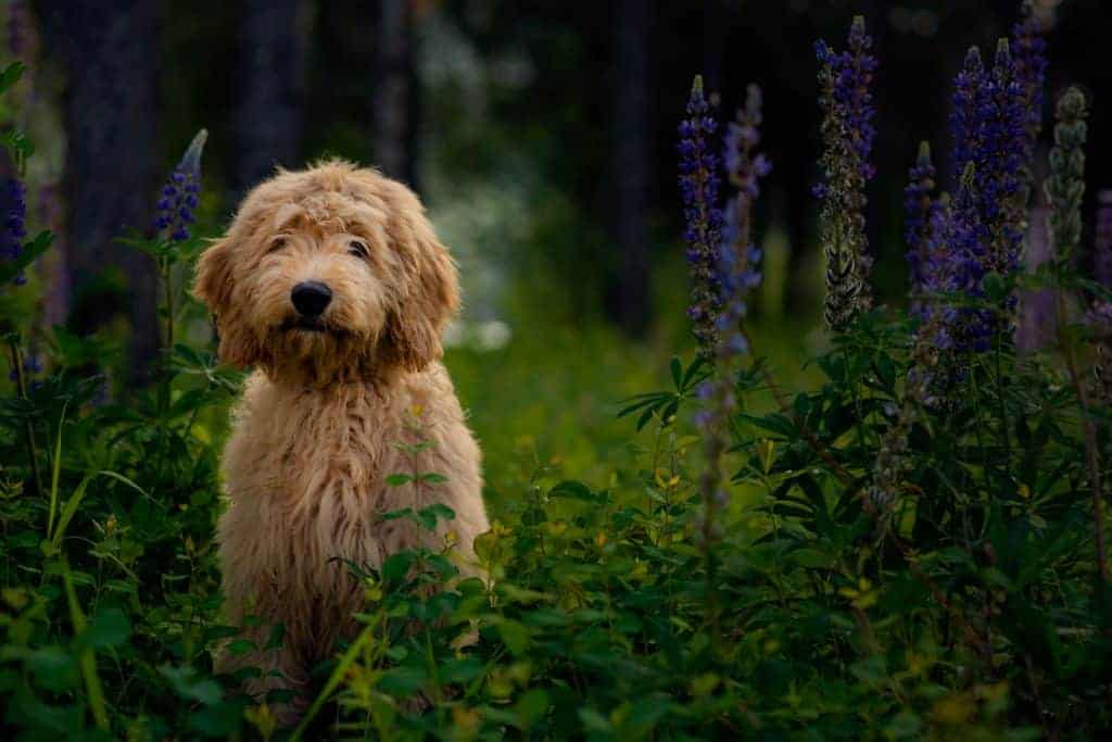 goldendoodle puppy in north Idaho wildflowers