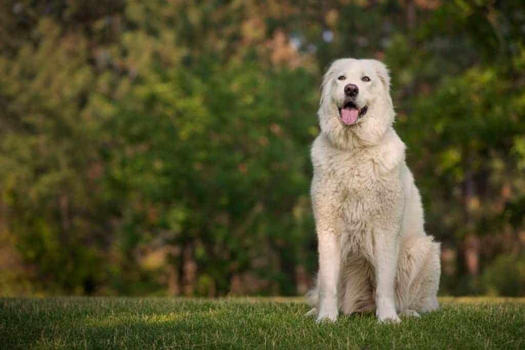 Portrait sessions for Spokane dogs at Mirabeau Park