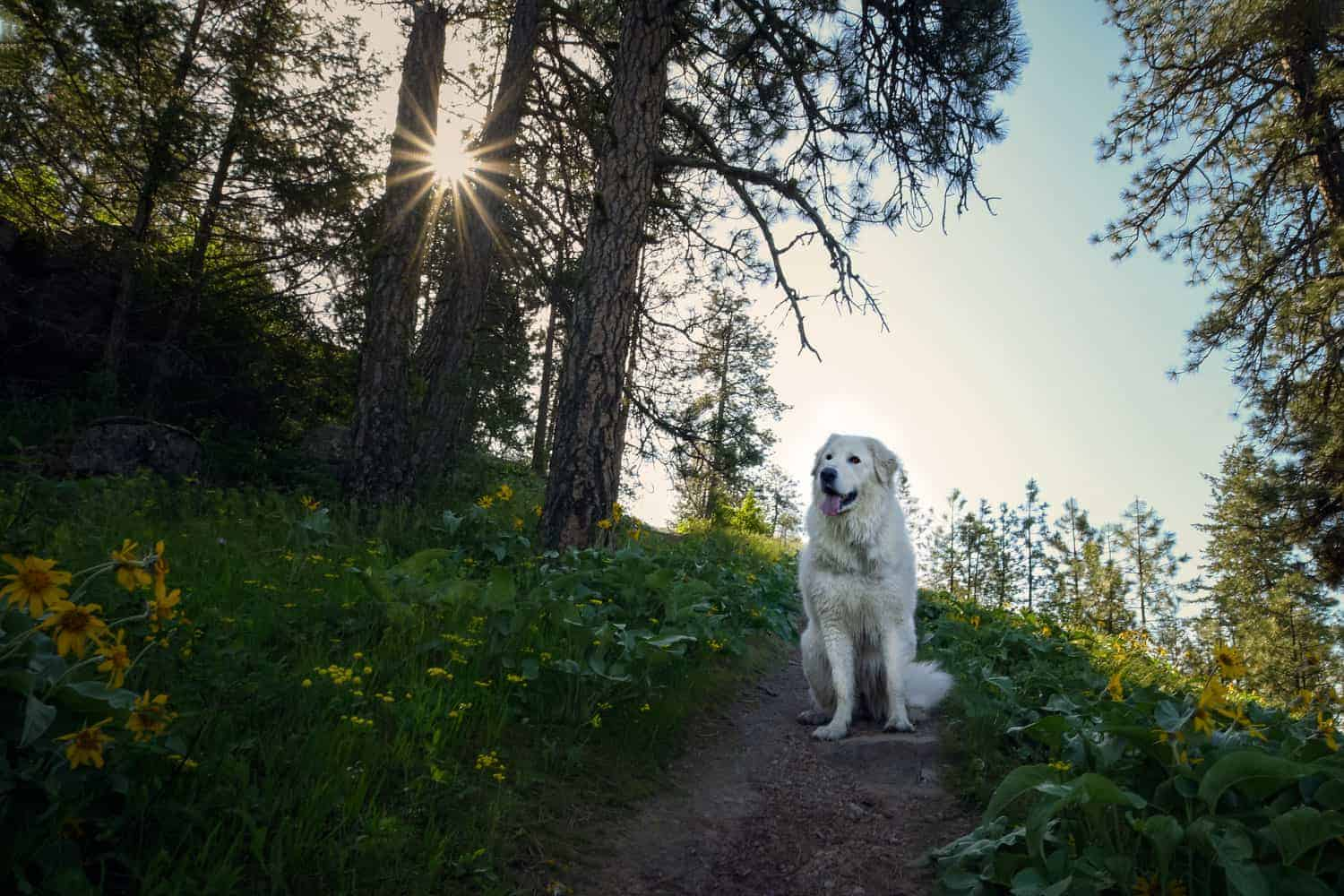 big white dog surrounded by North Idaho wildflowers