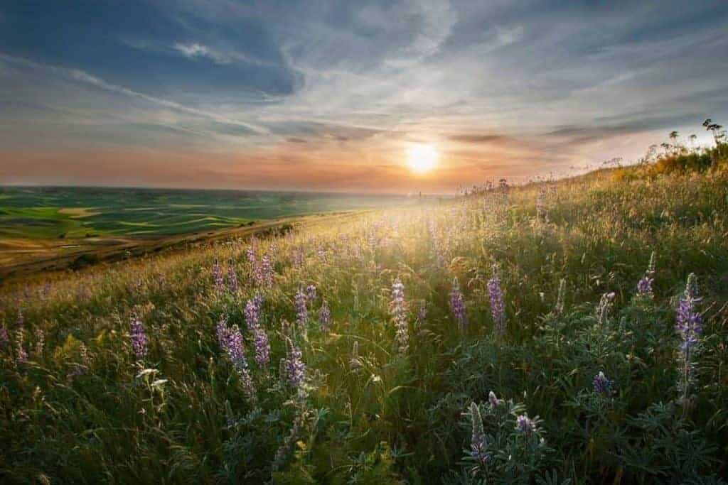 lupines during sunset on the Palouse