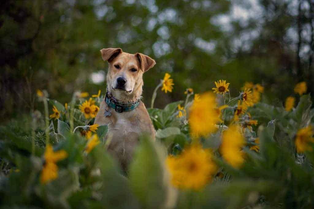 Rescue puppy in North Idaho wildflowers