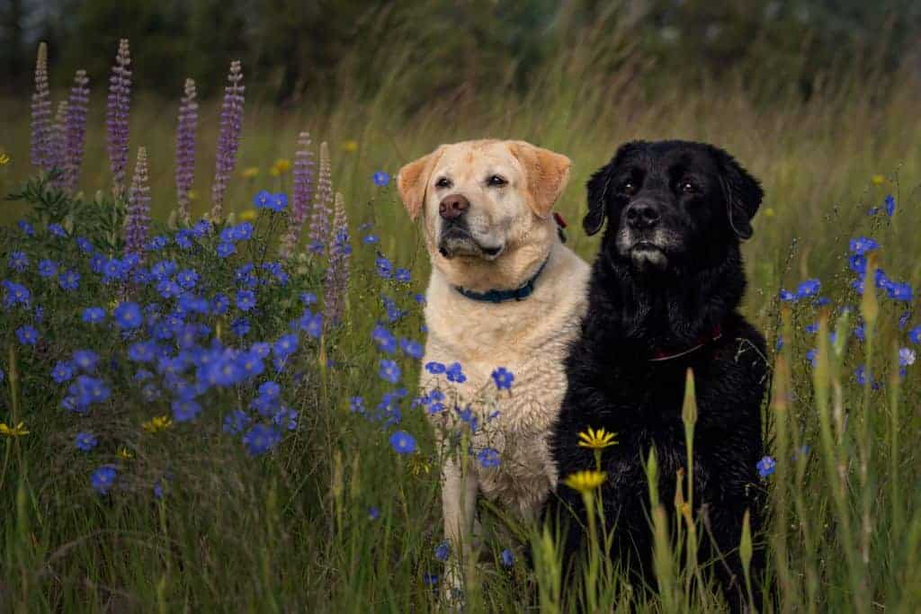 spokane dogs with blue flax at Plantes Ferry