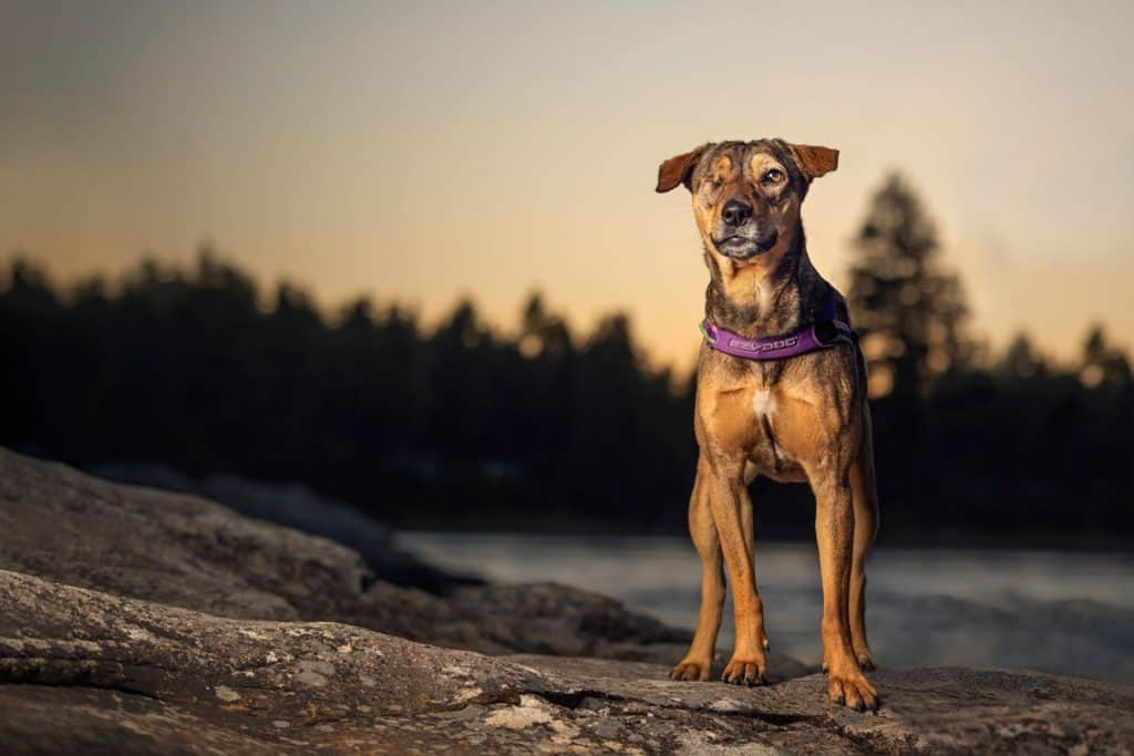 rescue dog at Post Falls Community Forest