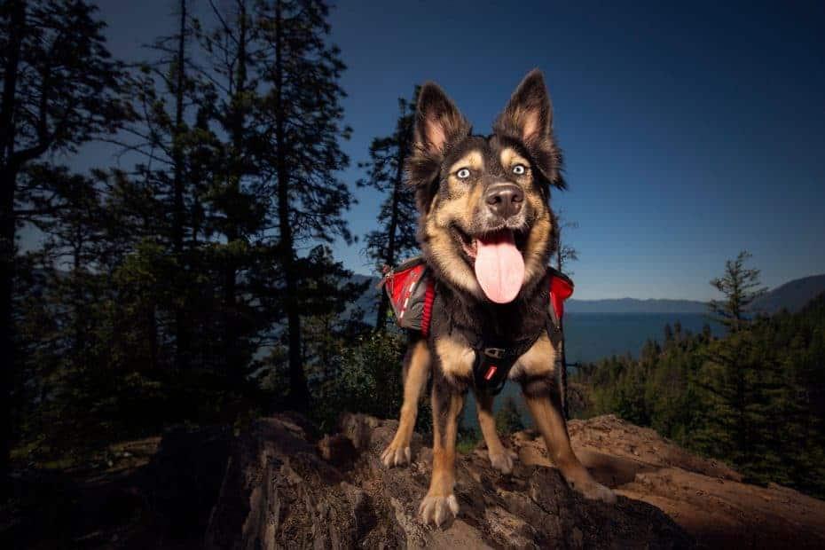 husky shepherd mix hiking in North Idaho