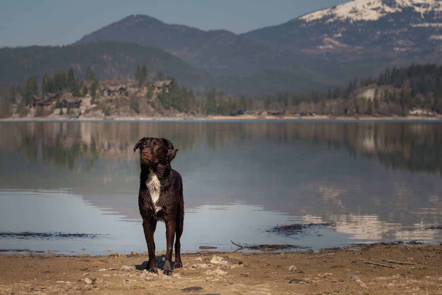 Labrador retriever at Springy Point campground in Sandpoint