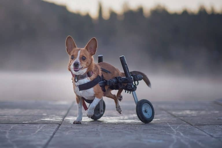 corgi in wheelchair at Hauser Lake in Idaho