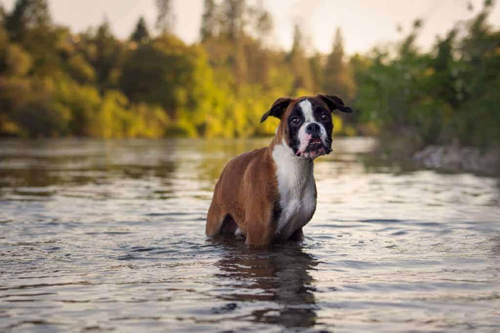 Ollie the boxer in Spokane River near Plantes Ferry