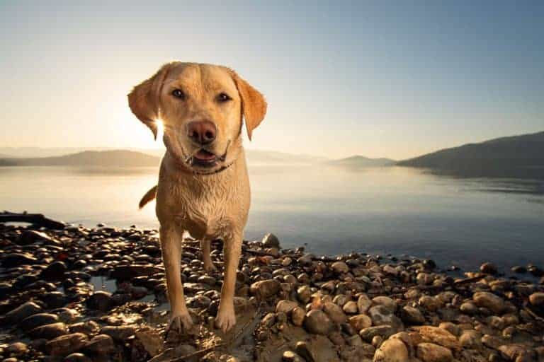 Yellow Lab on off-leash trail in Sandpoint