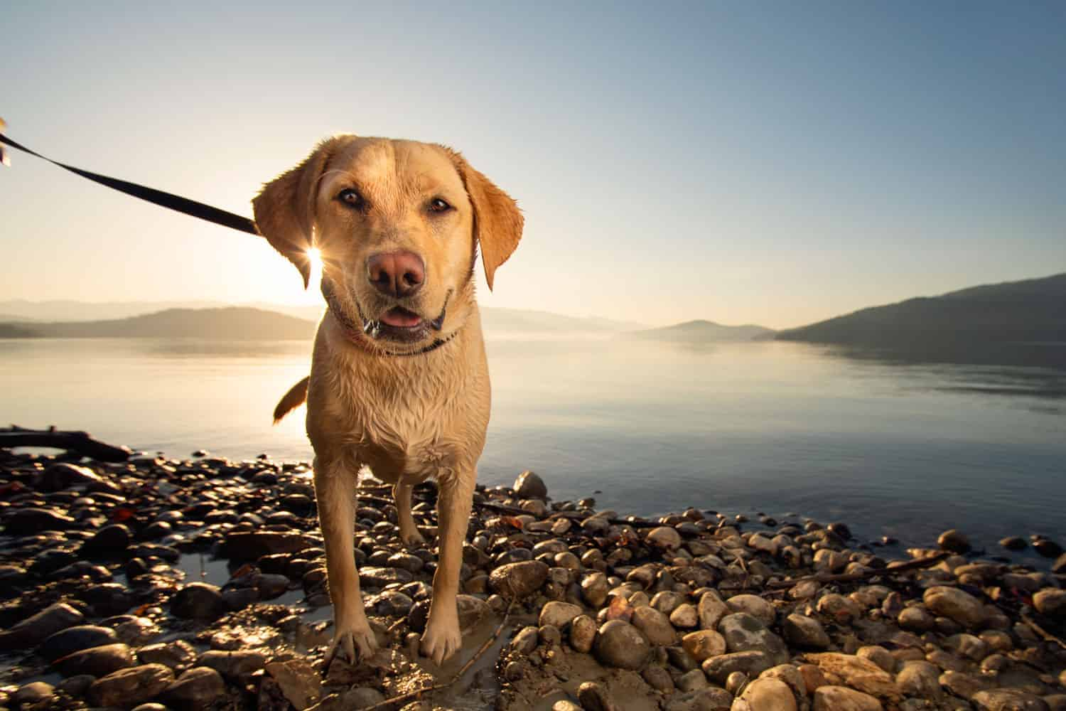 Yellow Lab on off leash trail in Sandpoint with leash