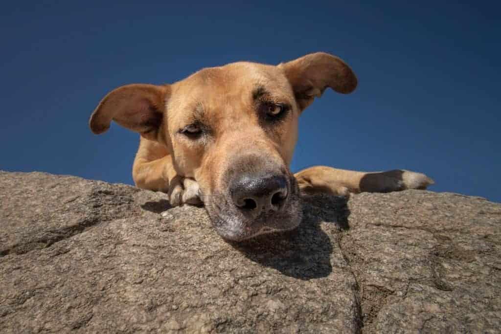 Spokane rescue dog peeks over a rock