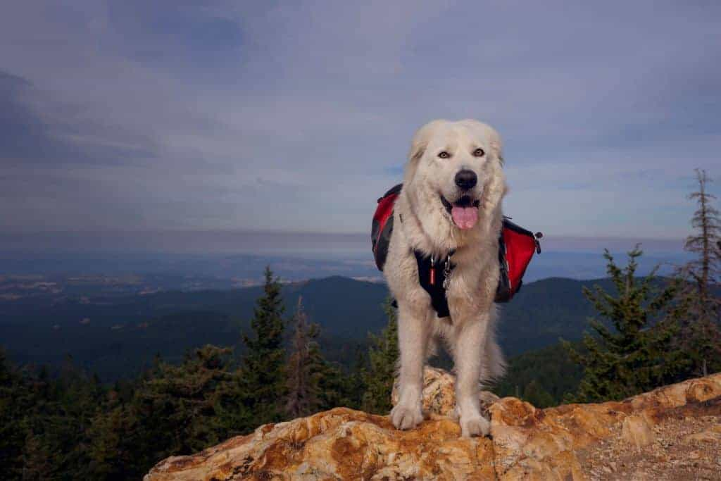 Backpacking dog at Quartz Mountain Lookout