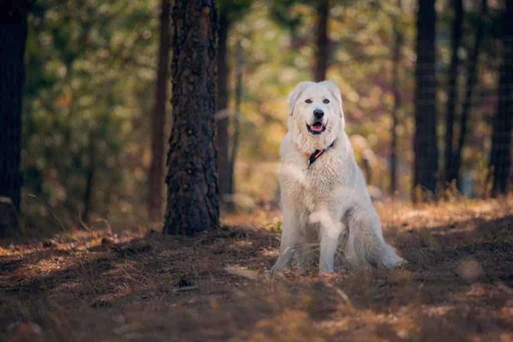 Bella enjoying an off-leash run at a Spokane Sniffspot
