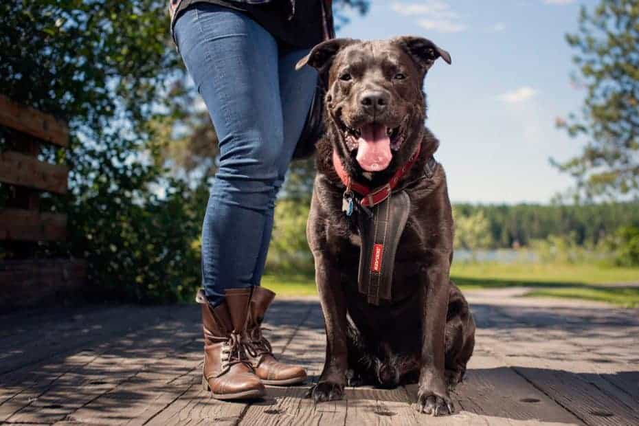 Chester the former bait dog