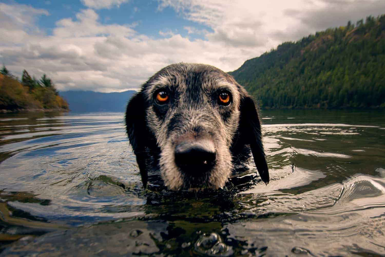 senior Lab swimming in Lake Pend Oreille