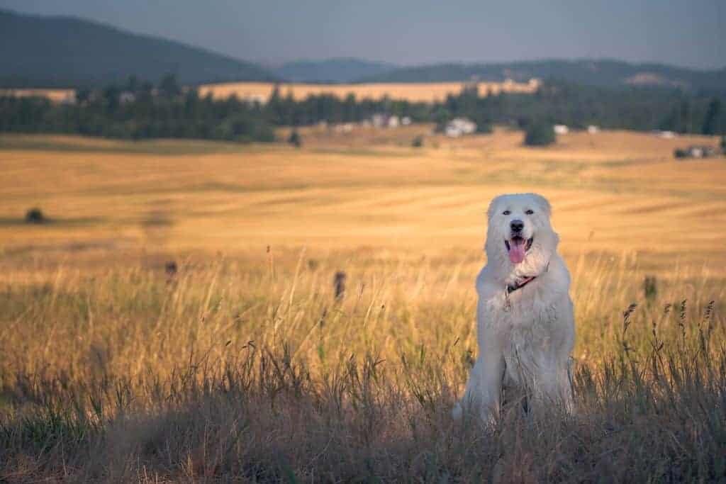 Maremma sheepdog on the Palouse