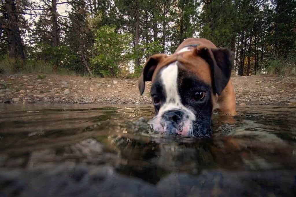 boxer puppy blowing bubbles in Spokane River