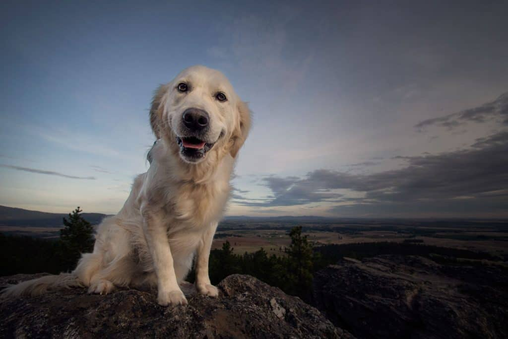 golden retriever at the rocks of sharon in spokane valley