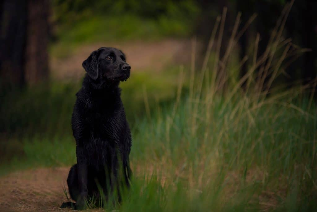 black Lab poses near the campgrounds at Farragut in North Idaho
