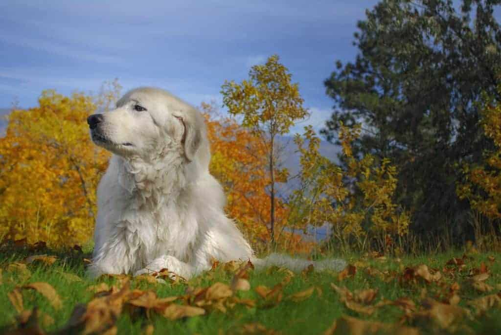 Big white dog in autumn leaves in Summerland, B.C.