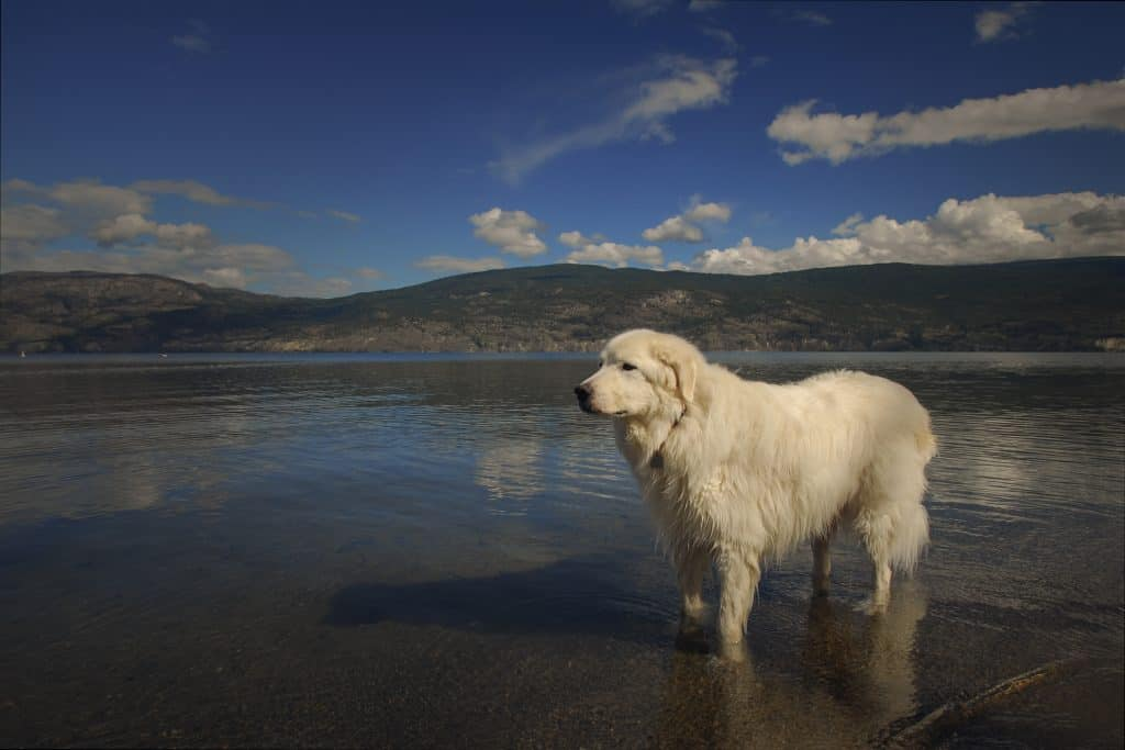 Dog portraits in Lake Okanagan