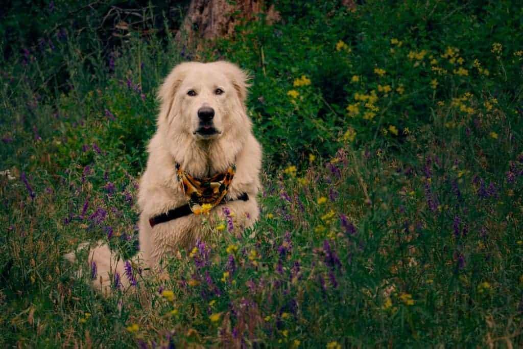 Maremma sheepdog in North Idaho wildflowers